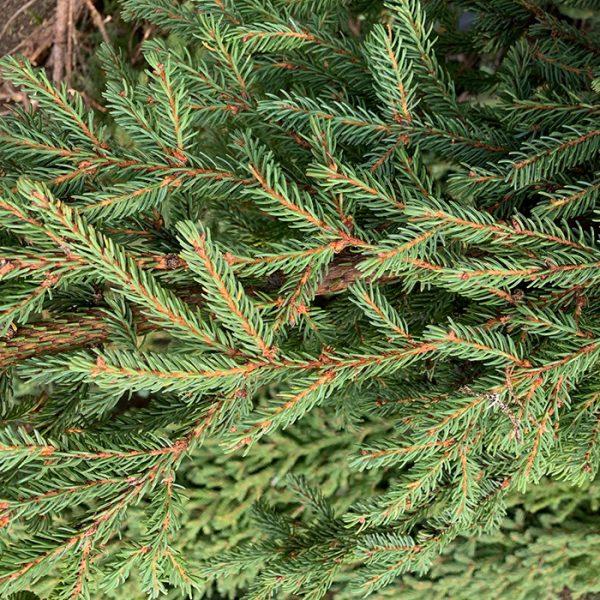 Black Spruce_Épinette noire_Canadian Naturals