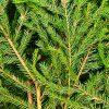 Canadian Naturals_Fir-Balsam_Sapin-Beaumier