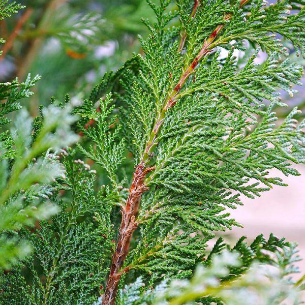 Cedar Western Red_Cèdre rouge de l'ouest_