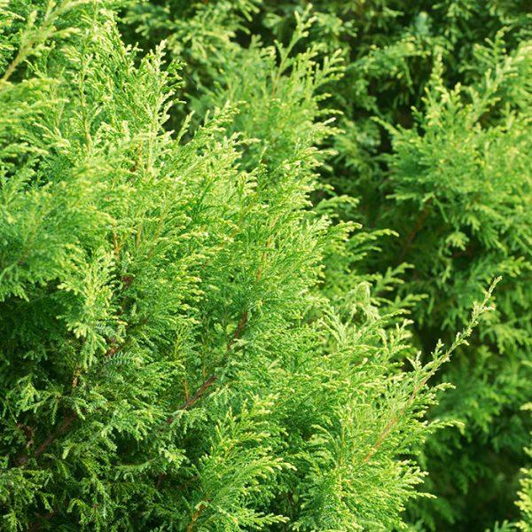 Eastern White Cedar_Cèdre blanc de l'est_Canadian Naturals