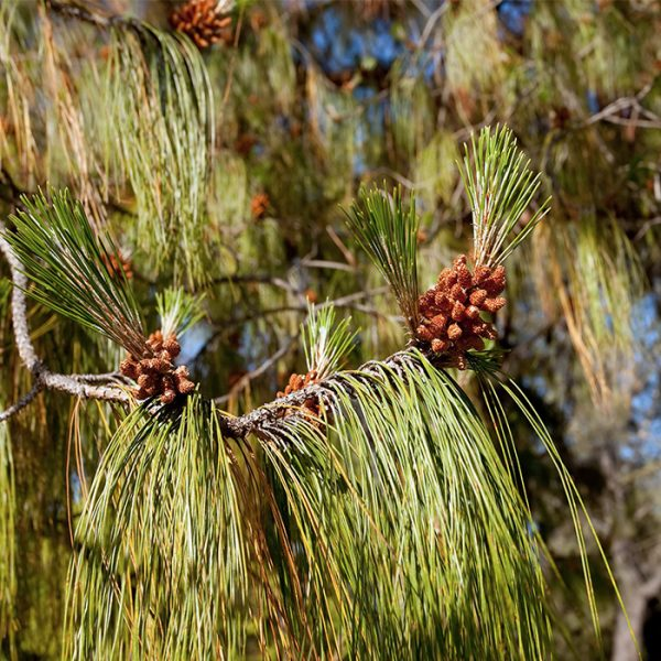 Red Pine_Pin rouge_Canadian naturals