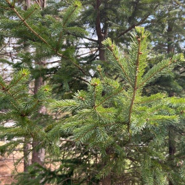White Spruce_Epinette blanche_Canadian Naturals